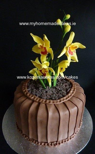 Cymbidium orchid in the pot